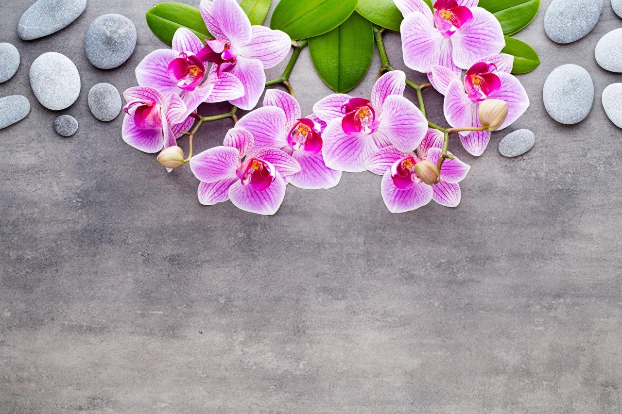 Фотография Орхидеи розовая цветок ветка Камень Шаблон поздравительной открытки Серый фон орхидея Розовый розовые розовых Цветы Камни ветвь Ветки на ветке сером фоне