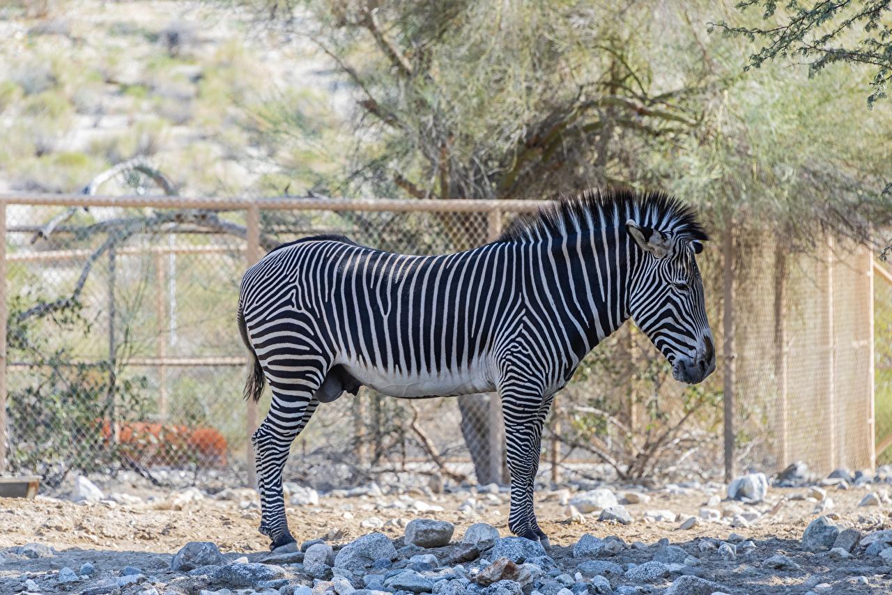 Обои для рабочего стола зебра Сбоку Животные Зебры животное