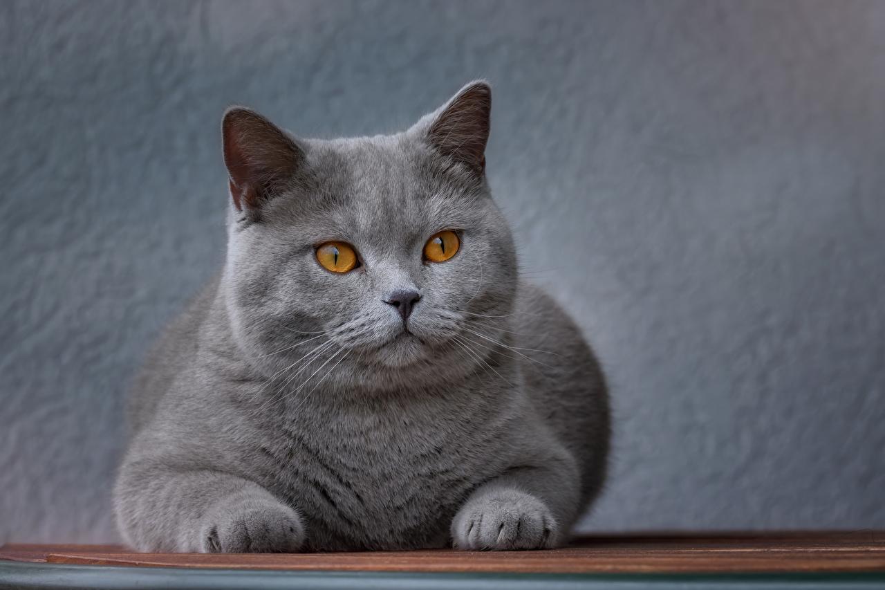 Обои для рабочего стола Кошки Серый Морда смотрят Животные кот коты кошка серые серая морды Взгляд смотрит животное