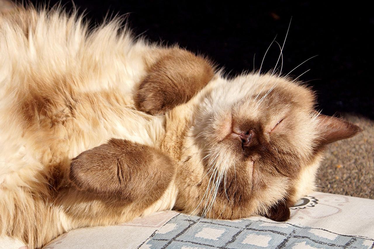 Фотографии Коты спящий Лапы Морда Животные Кошки сон Спит