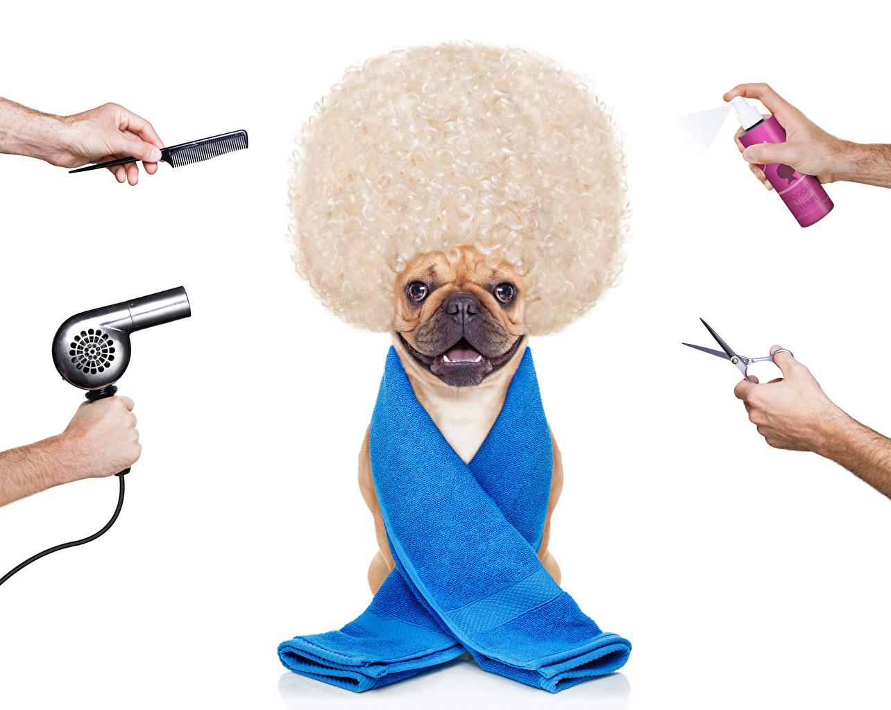 Обои бульдога Собаки волос оригинальные Руки Полотенце Животные Белый фон Бульдог собака Волосы Креатив рука животное белом фоне белым фоном