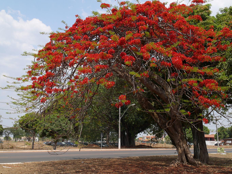Фотография Delonix Природа улице Деревья улиц Улица дерево дерева деревьев