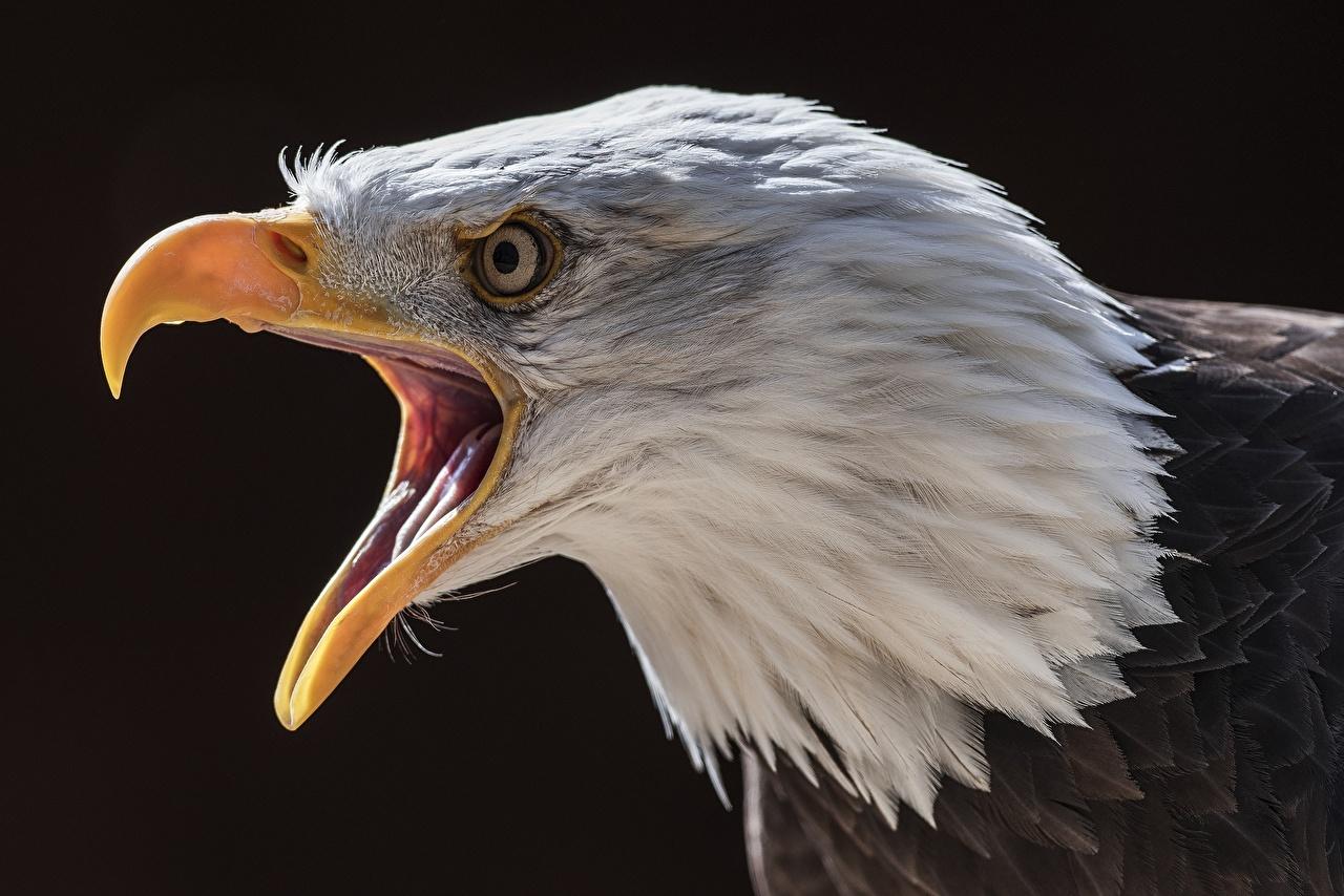 Фото Орлы Птицы Клюв головы животное орел птица Голова Животные
