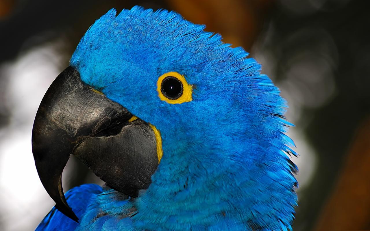 Фотография Ара (род) птица Попугаи Клюв синяя Голова Животные Птицы синих синие Синий головы животное
