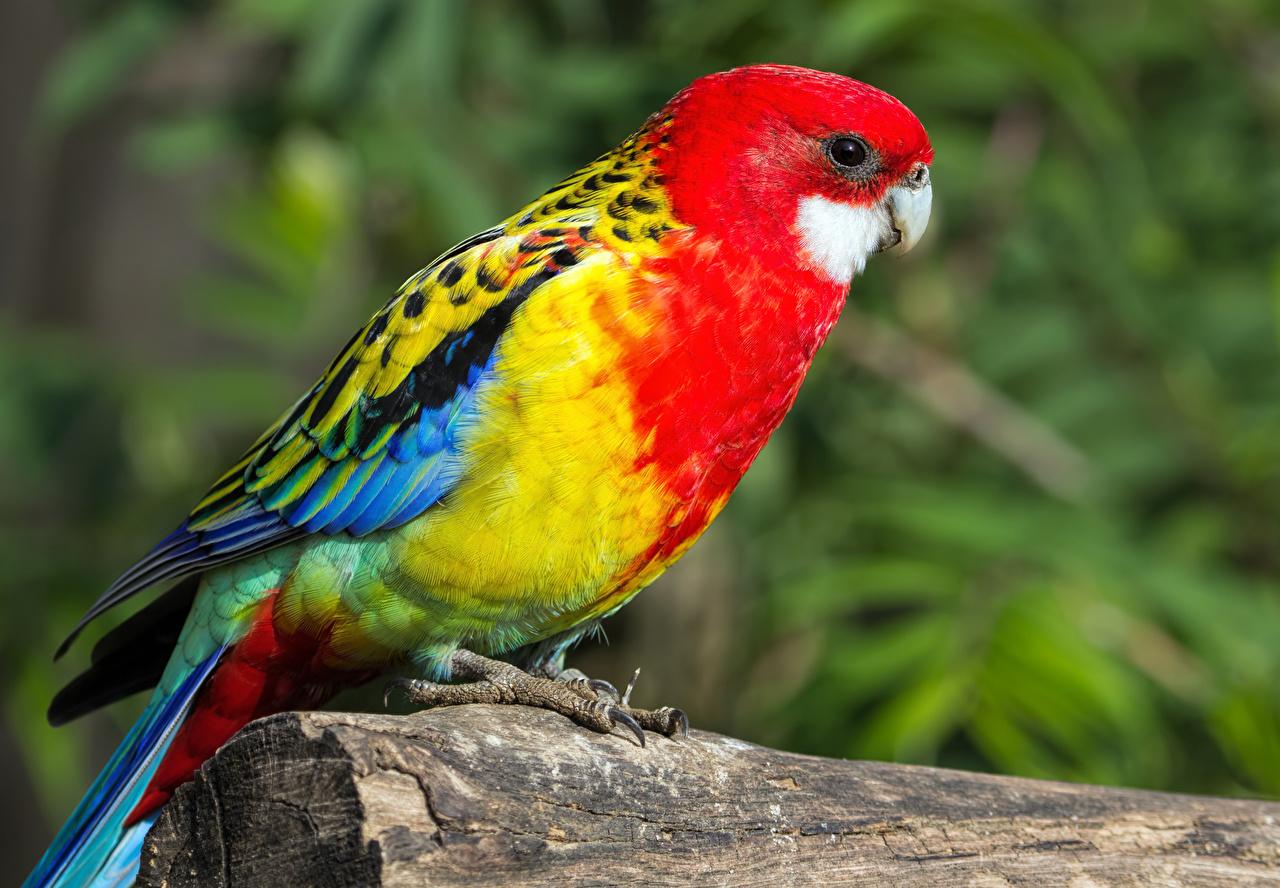 Фотографии Птицы Попугаи Размытый фон Животные