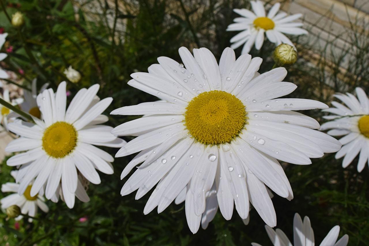 Фото Цветы капля Ромашки Крупным планом Капли цветок капель ромашка капельки вблизи