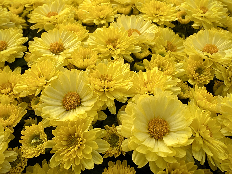 Фотографии желтые Астры Цветы Много Крупным планом желтая Желтый желтых цветок вблизи