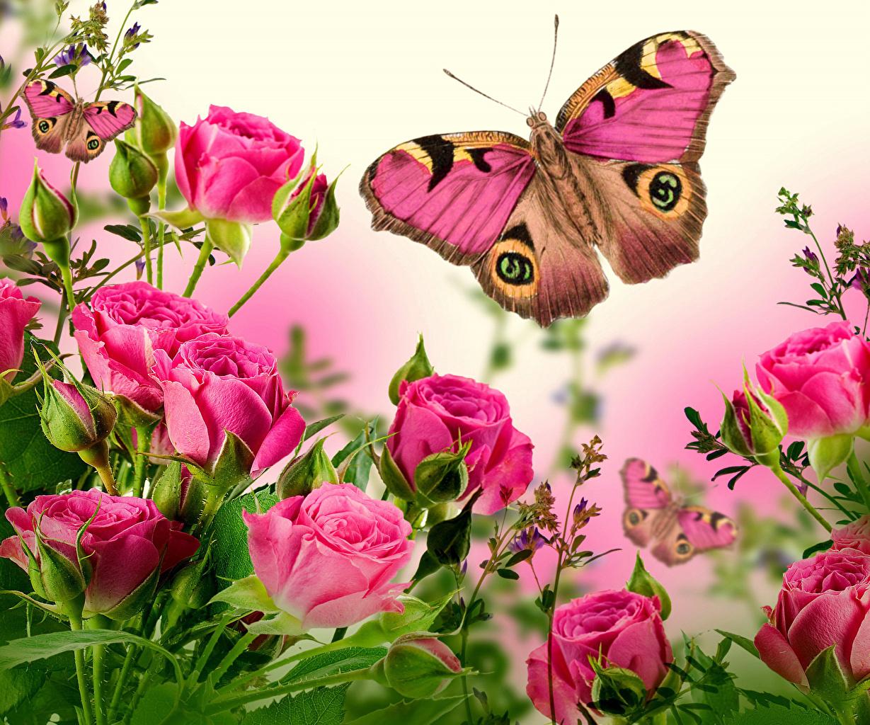 Фото Бабочки Розы Розовый Цветы