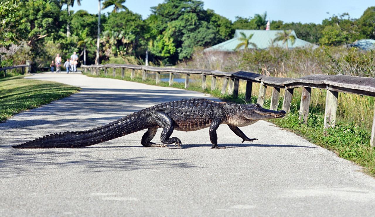 Картинки Крокодилы Дороги животное крокодил Животные