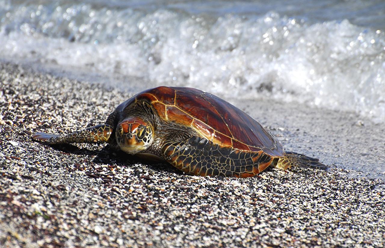 Фотографии Черепахи Волны песке животное песка Песок Животные