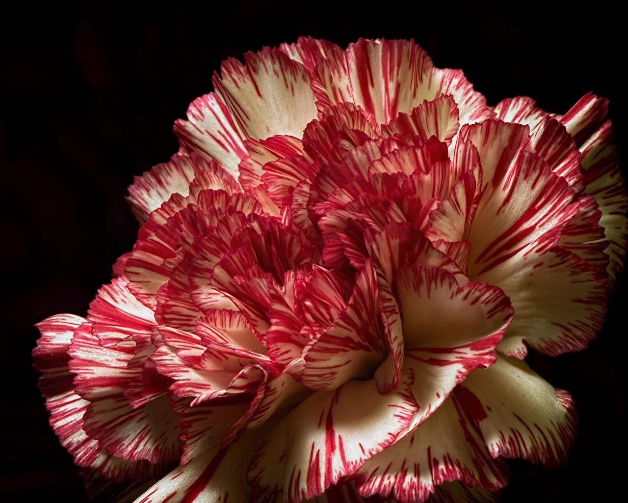 Картинки цветок Гвоздики Черный фон Крупным планом Цветы гвоздика вблизи на черном фоне