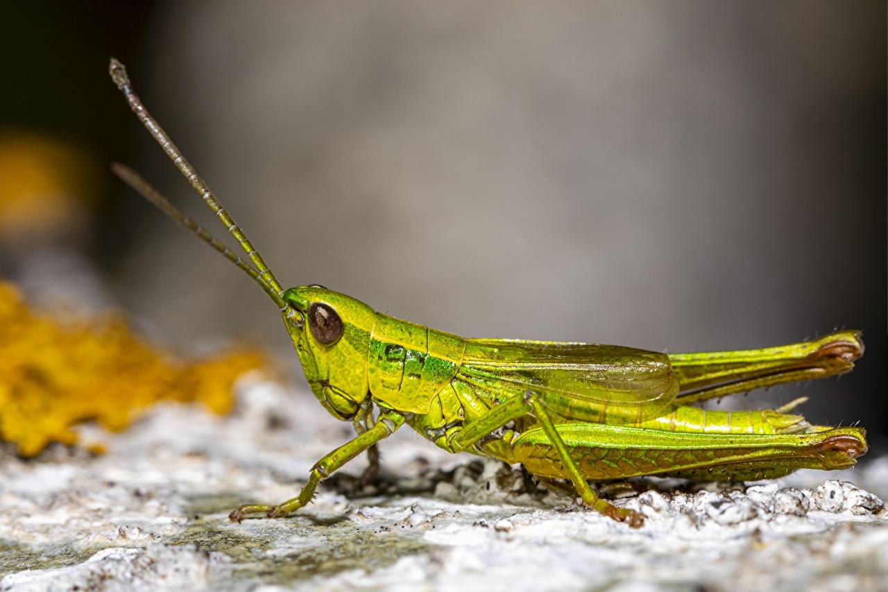 Фотография Кузнечики Насекомые боке Зеленый вблизи животное насекомое Размытый фон зеленая зеленые зеленых Животные Крупным планом