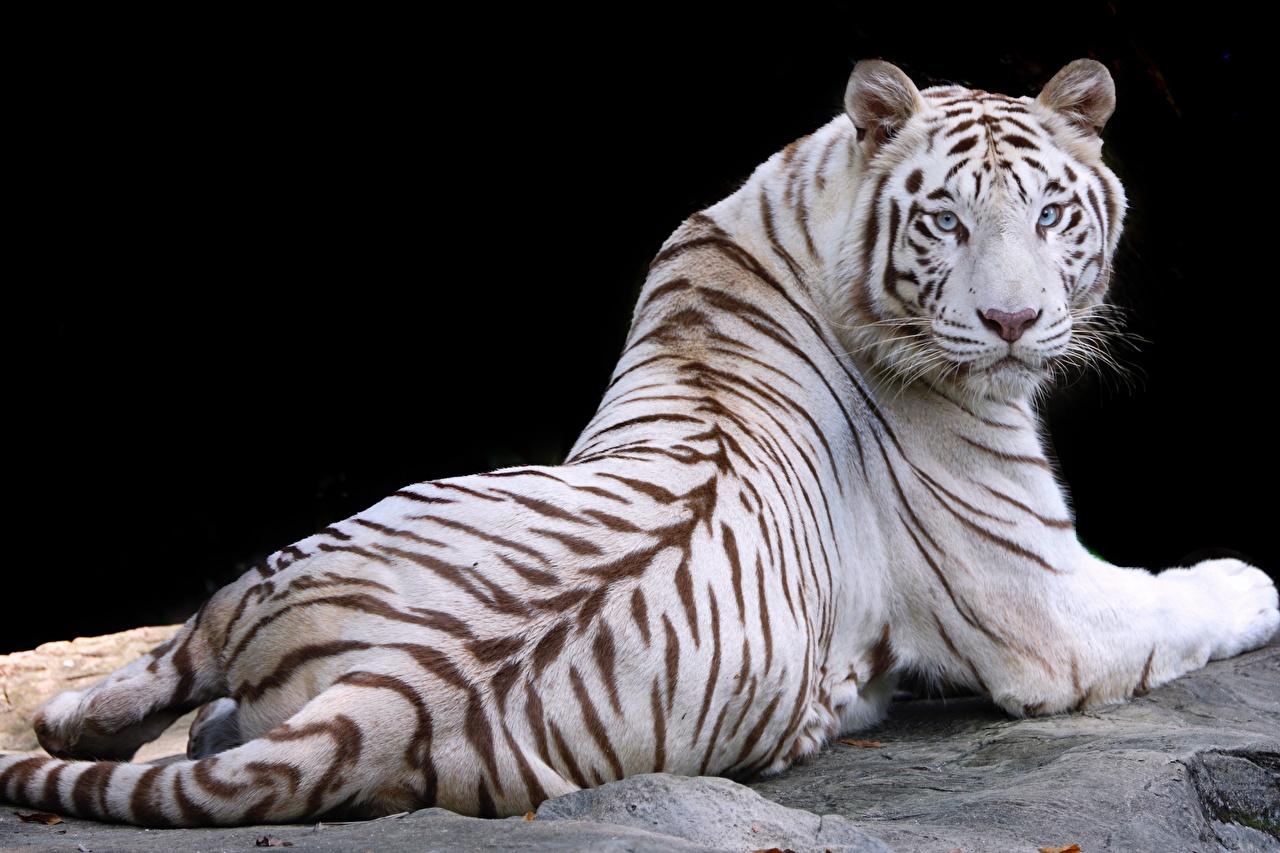 Фото тигр белые Животные Черный фон Тигры белых Белый белая животное на черном фоне