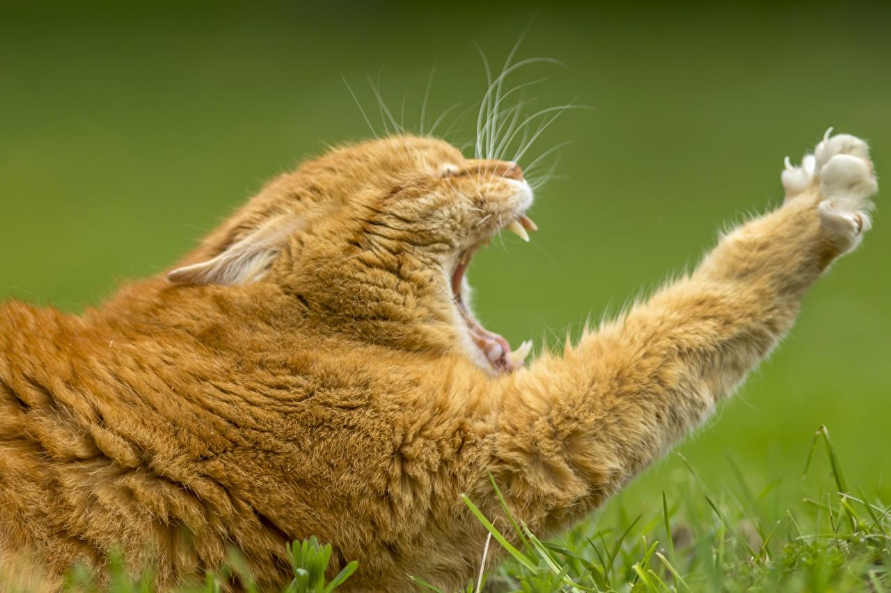 Картинки Кошки Рыжий Зевает Лапы Животные Коты