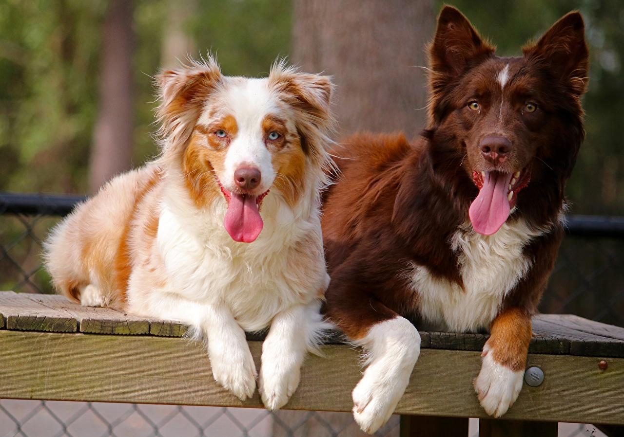 Фотография Австралийская овчарка Собаки вдвоем Язык (анатомия) Животные 2 Двое