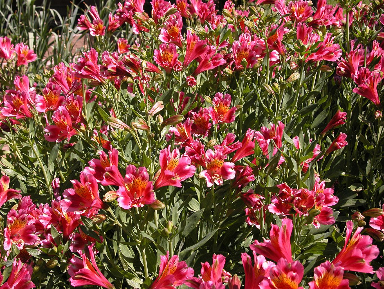 Фотографии Розовый Цветы Альстрёмерия Много розовых розовые розовая цветок