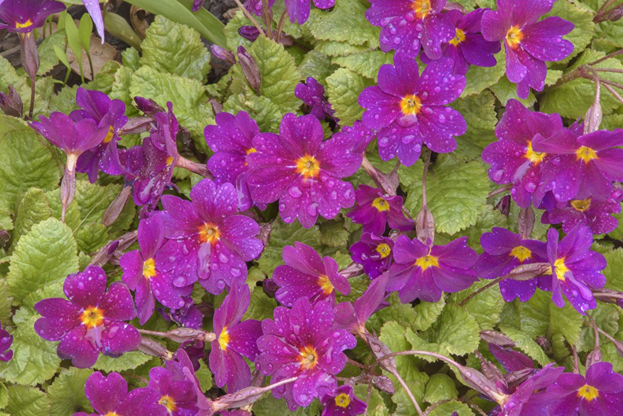 Картинки Фиолетовый Цветы капель Первоцвет Крупным планом фиолетовая фиолетовые фиолетовых капля Капли цветок Примула капельки вблизи