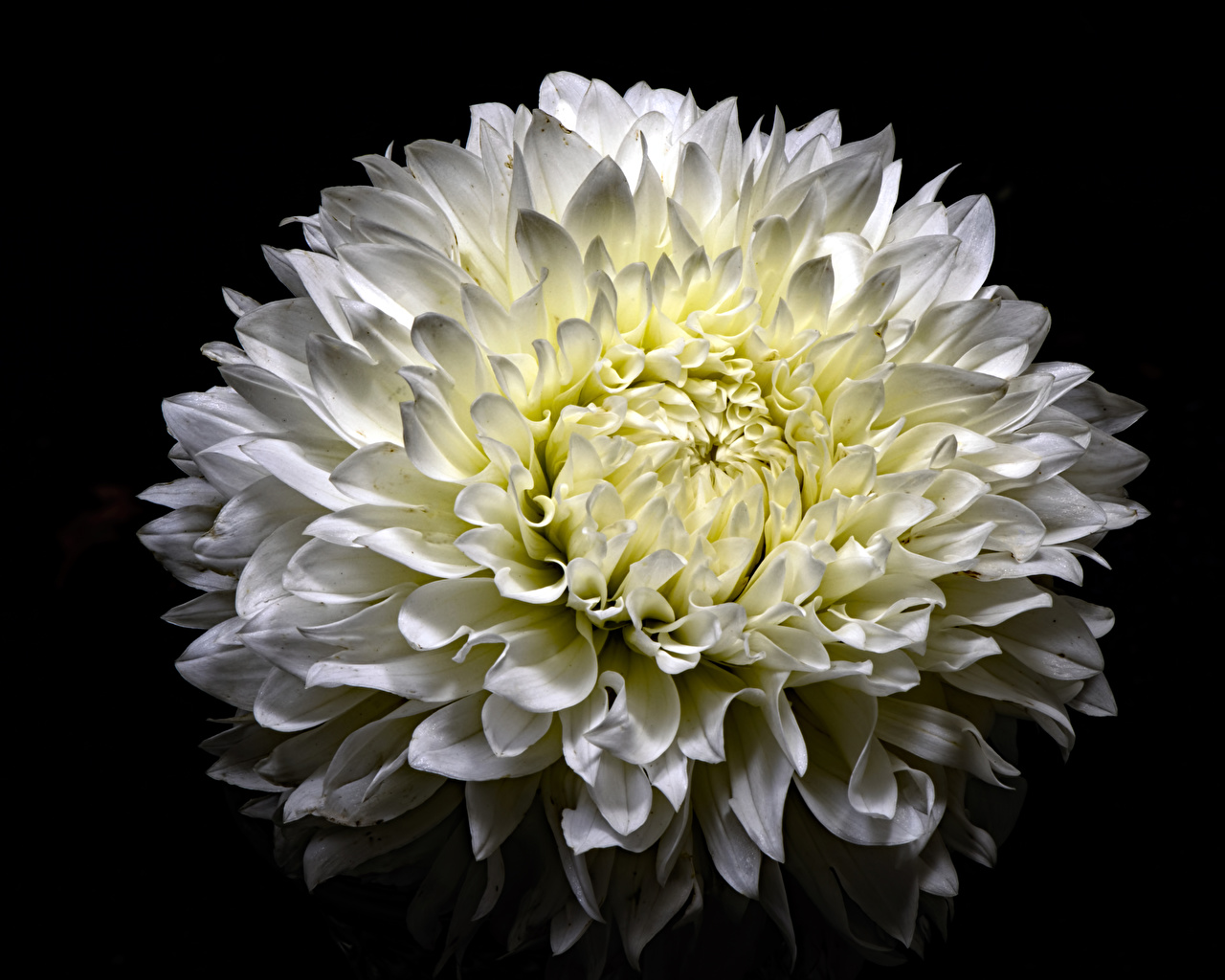 Картинки Белый Цветы Хризантемы Черный фон Крупным планом белых белые белая цветок вблизи на черном фоне