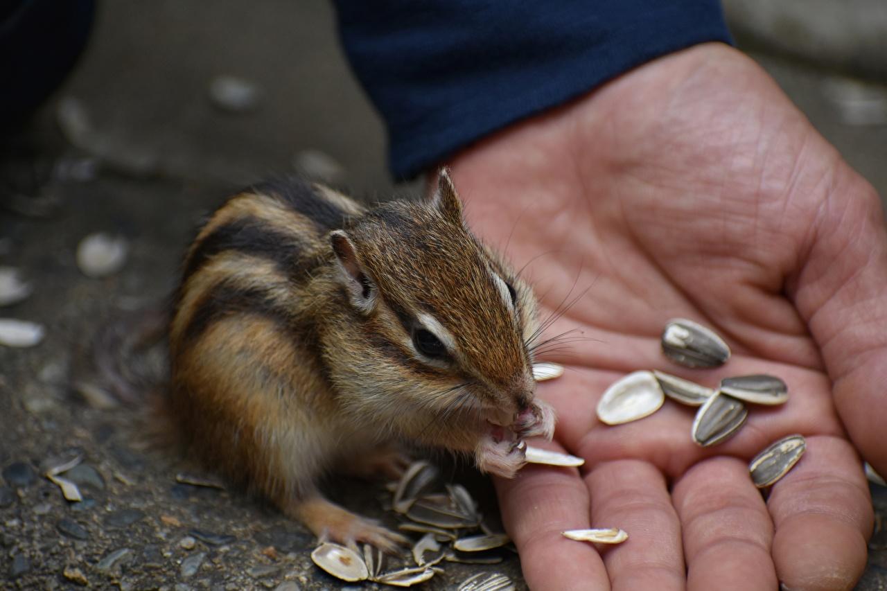 Обои для рабочего стола Грызуны Бурундуки Семечки подсолнечника рука Пальцы Животные Крупным планом Руки вблизи животное