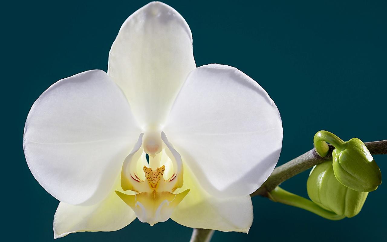 Картинка Белый Орхидеи Цветы Крупным планом вблизи