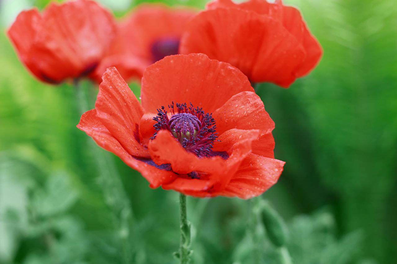 Картинки Красный мак цветок вблизи красных красные красная Маки Цветы Крупным планом