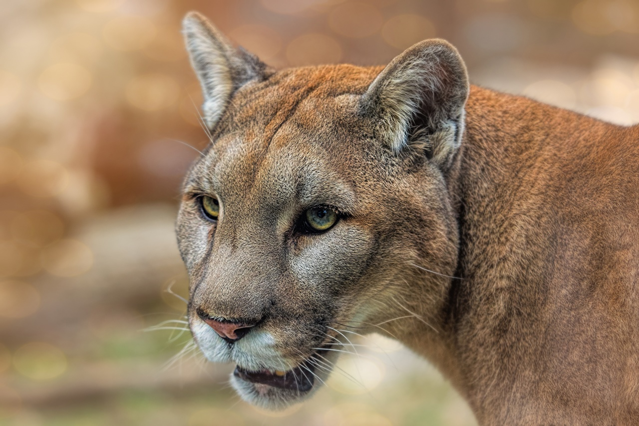 Фото Пумы морды Взгляд животное пума Морда смотрит смотрят Животные