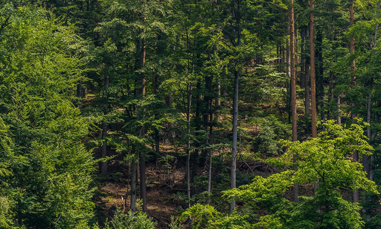 Картинки Schwarzwald Природа Леса деревьев лес дерево дерева Деревья