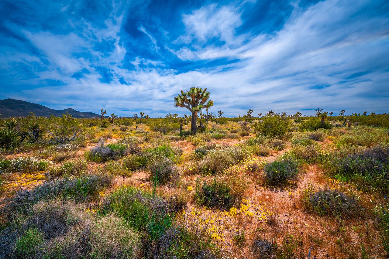 Фотографии Калифорния штаты Joshua Tree National Park Природа парк дерево калифорнии США америка Парки дерева Деревья деревьев