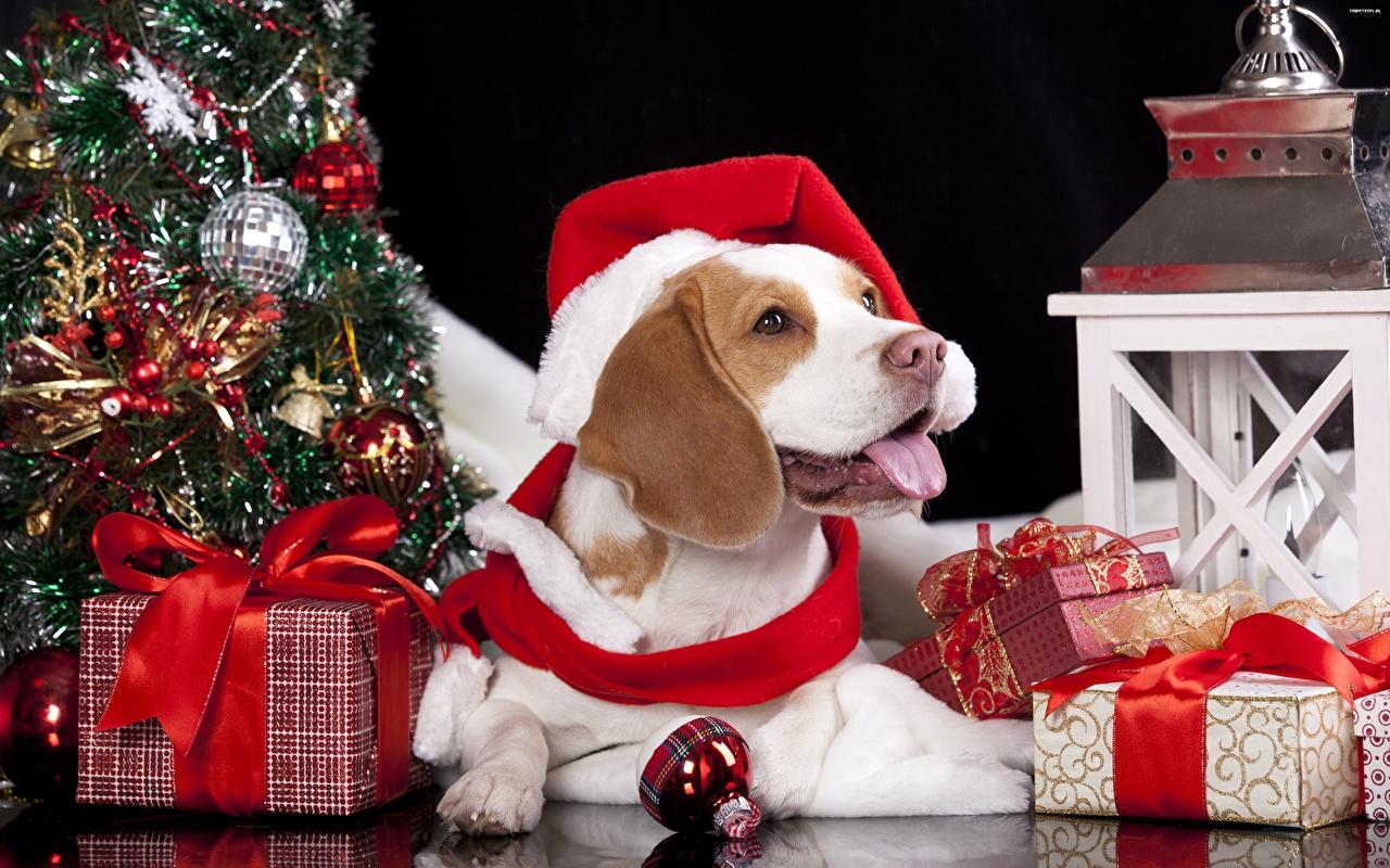 Обои Бигль собака Новый год Шапки Язык (анатомия) Подарки Шарики бантики животное бигля Собаки Рождество шапка языком в шапке подарок подарков Шар бант Бантик Животные