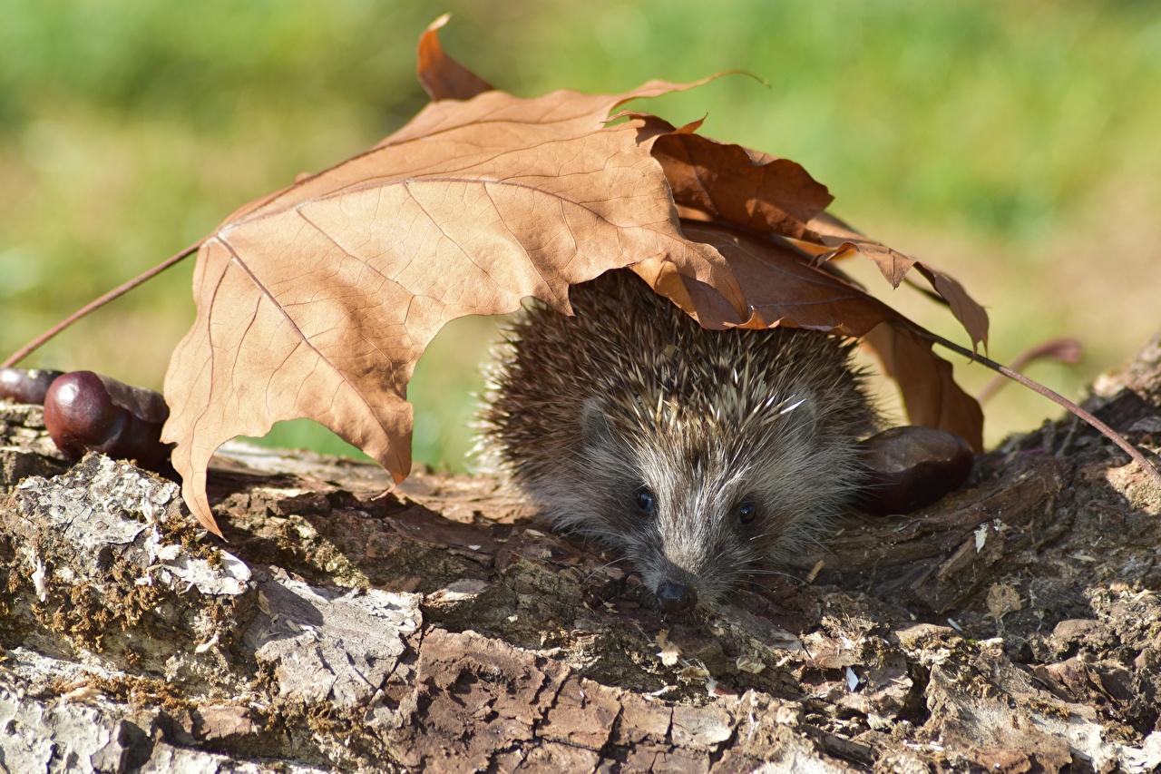 Фото Ежики лист осенние животное Ежи Листва Листья Осень Животные