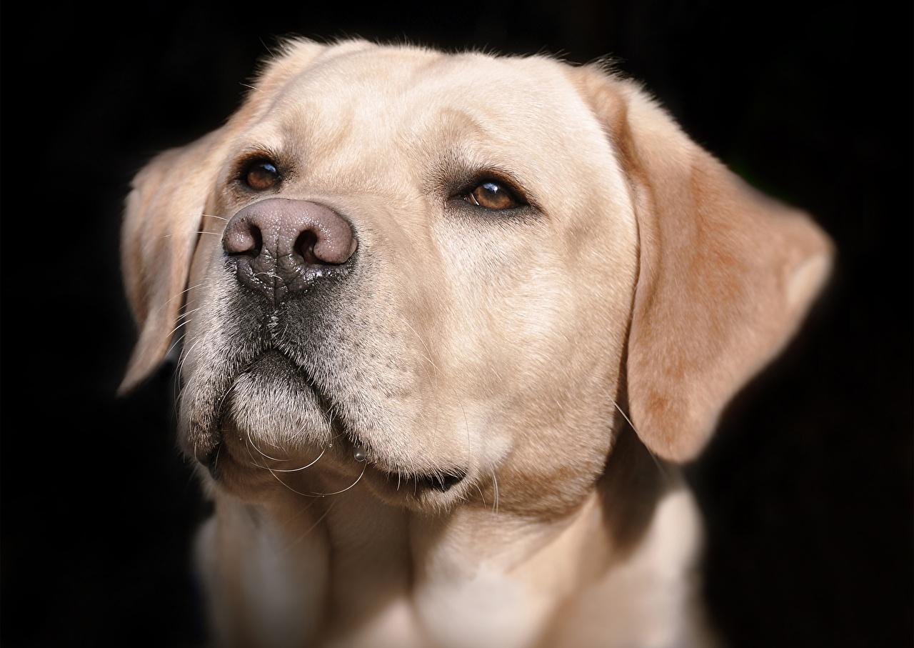 Картинка Собаки labrador Нос Черный Морда Голова Взгляд вблизи Животные смотрит Крупным планом