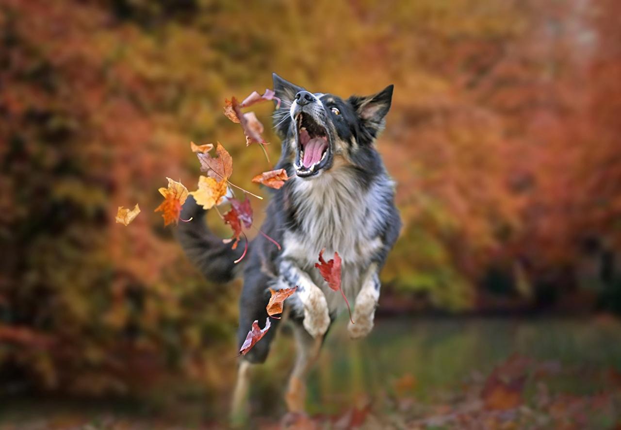Обои Бордер-колли Собаки Листва осенние Прыжок Животные лист Листья Осень прыгает прыгать в прыжке
