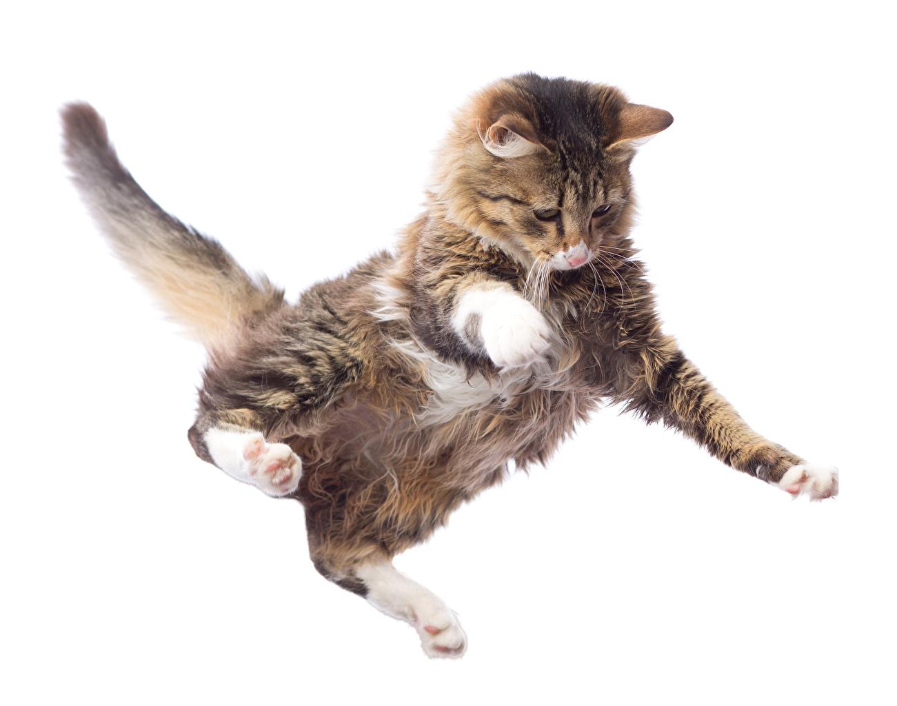 Обои Коты Лапы Хвост Прыжок Животные Белый фон Кошки