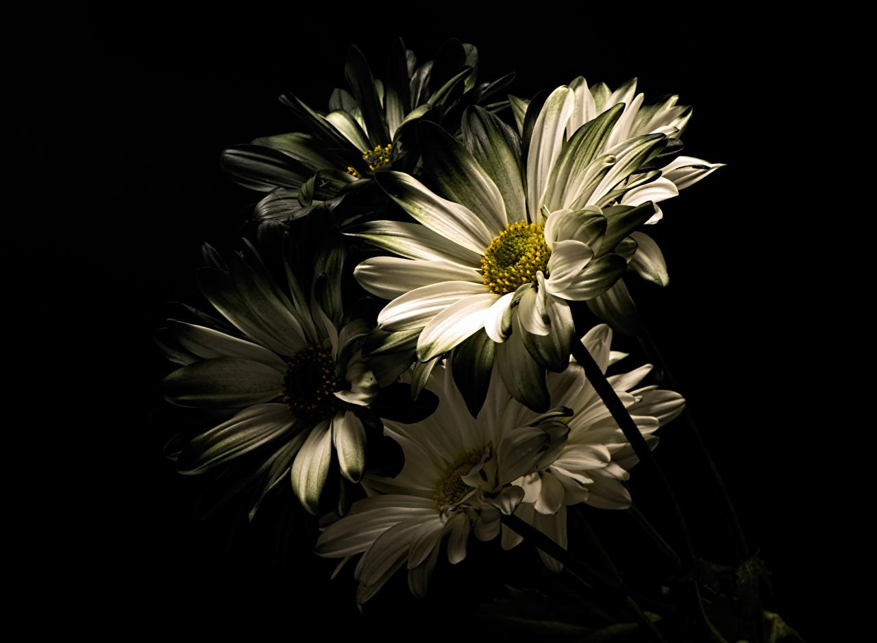 Картинки Белый цветок Хризантемы Черный фон Крупным планом белых белые белая Цветы вблизи на черном фоне