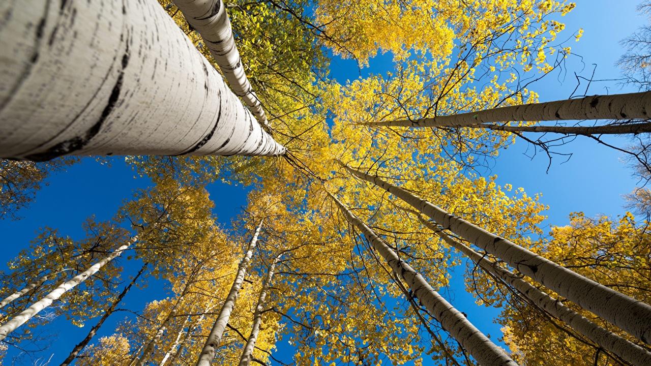Картинка Вид снизу Осень Березы Природа Ствол дерева осенние