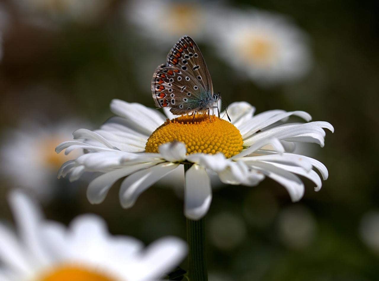 Фотографии бабочка Насекомые Размытый фон Цветы ромашка вблизи Бабочки насекомое боке цветок Ромашки Крупным планом