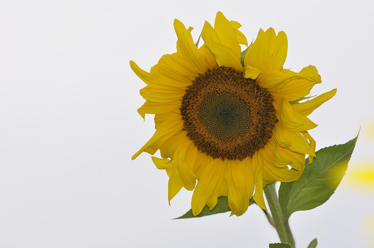 Фото желтых Цветы Подсолнечник белом фоне Желтый желтые желтая цветок Подсолнухи Белый фон белым фоном