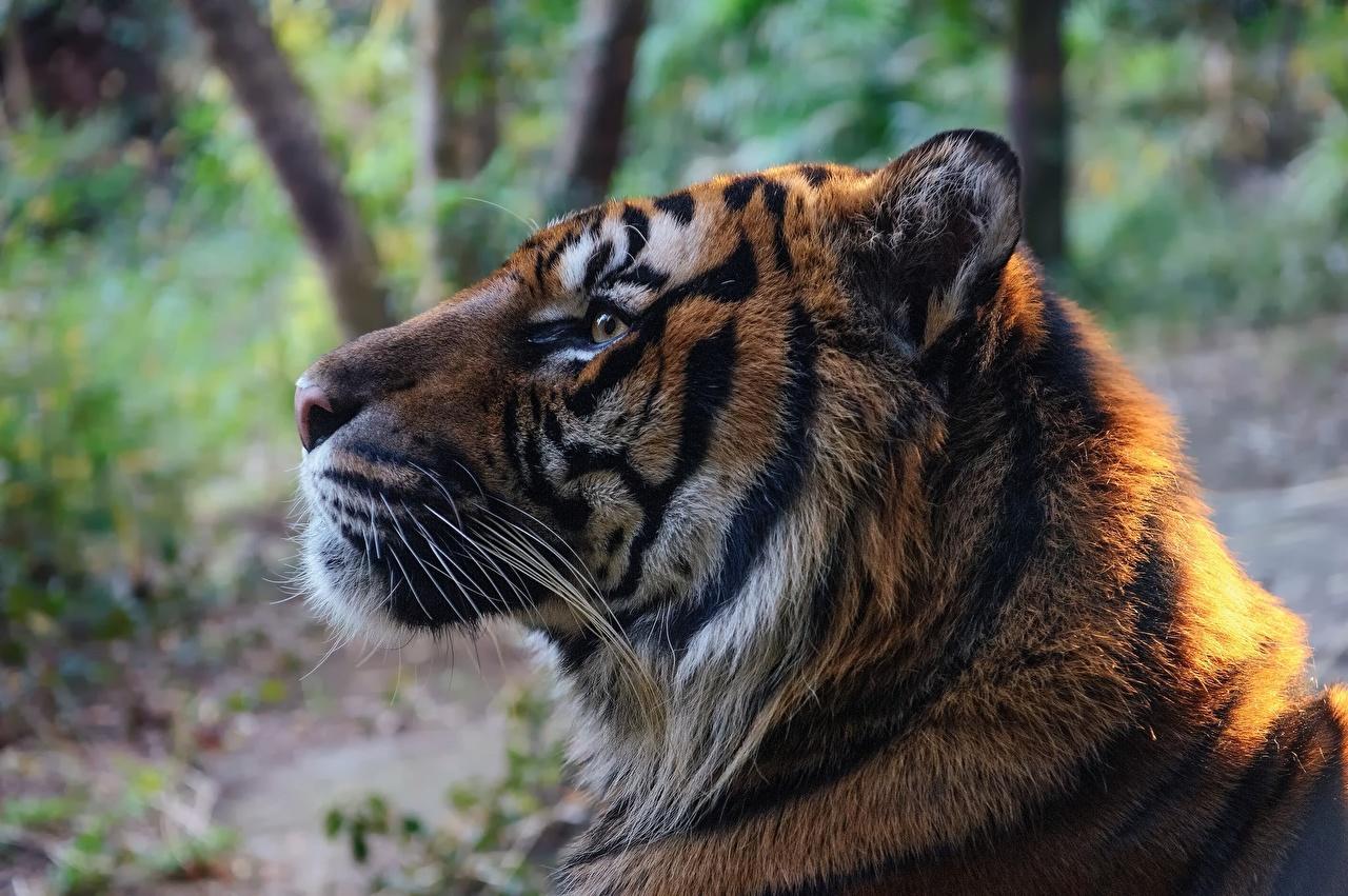 Обои для рабочего стола тигр Большие кошки Усы Вибриссы морды Животные Тигры Морда животное