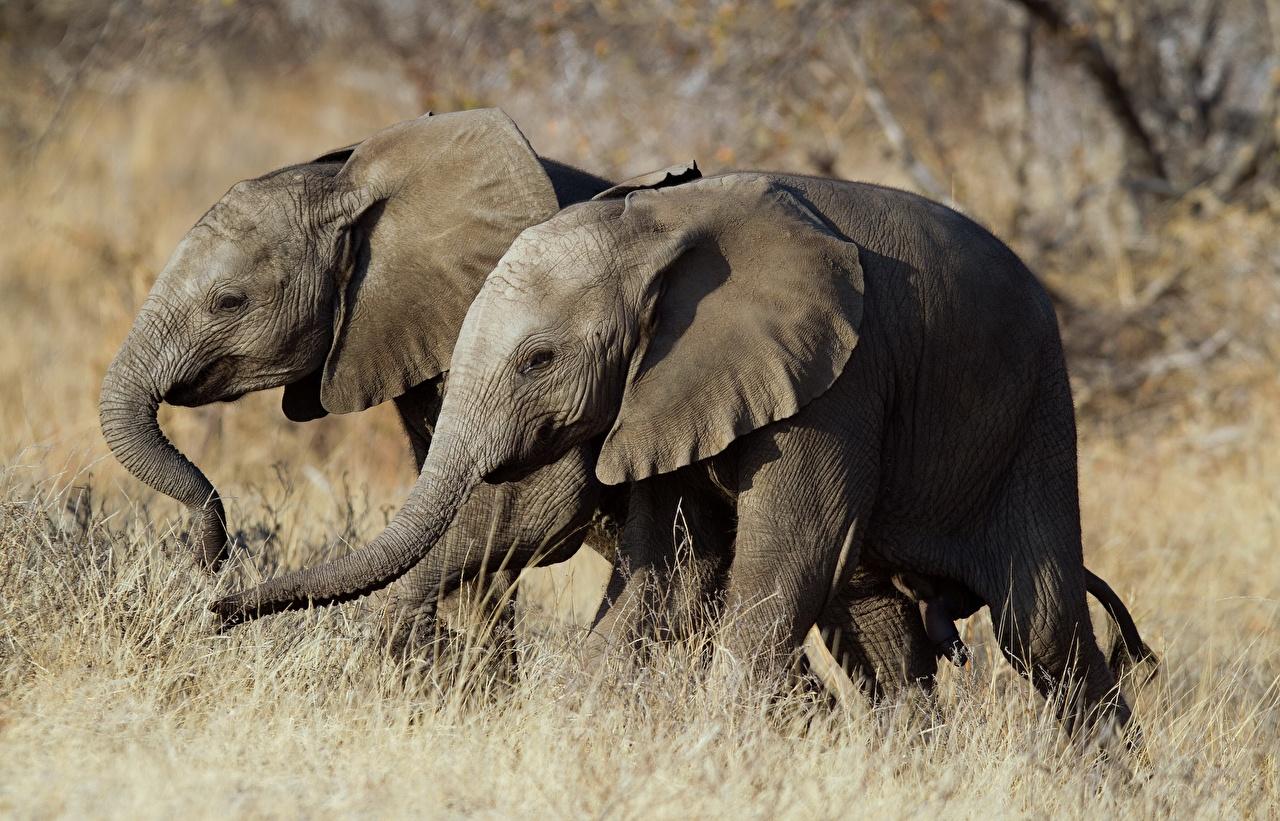 Фотографии слон Двое Животные Слоны 2 два две вдвоем животное