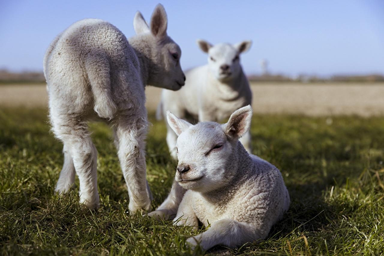 Фотографии Овцы Детеныши Лежит Размытый фон Белый три Трава Животные лежа лежат лежачие боке белая белые белых траве Трое 3 втроем животное