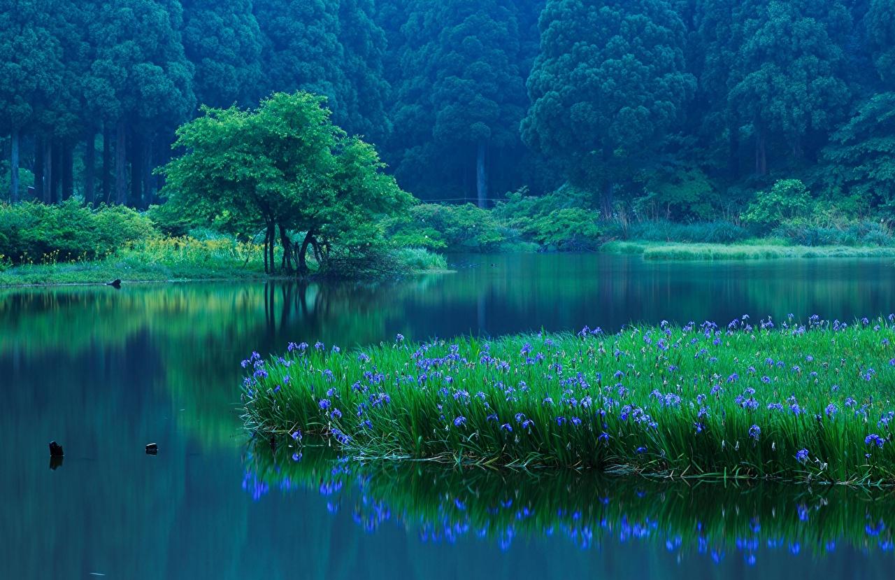 Фотография Япония Takashima, Shiga Prefecture Природа Леса Озеро Ирисы Деревья лес ирис дерево дерева деревьев