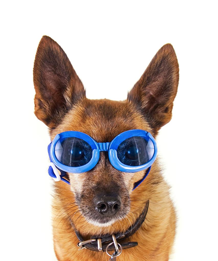 Картинки овчарки Собаки забавные очках Морда животное Белый фон Овчарка собака смешной смешная Смешные Очки очков морды Животные белом фоне белым фоном