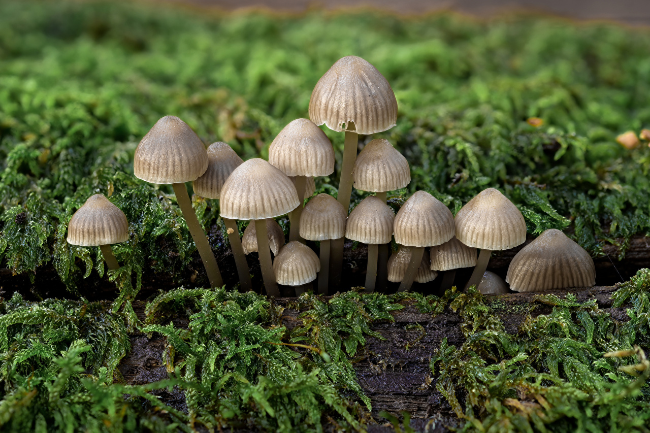 Фото bonnet mushrooms Природа Мох Грибы природа мха мхом