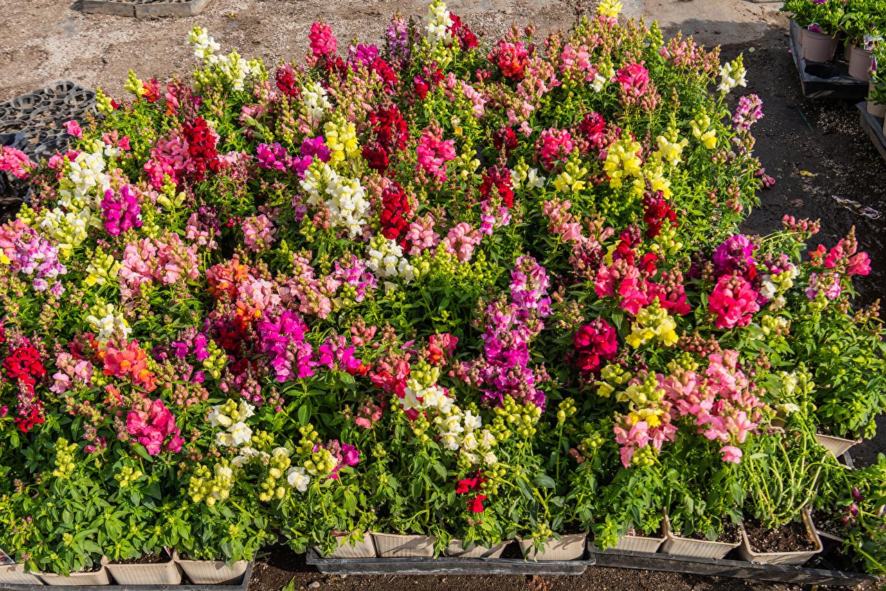 Фотографии Разноцветные цветок Антирринум Много Цветы Львиный зев
