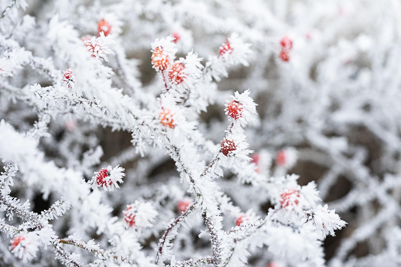 Фото Иней боке Природа Ягоды Ветки Размытый фон ветвь ветка на ветке