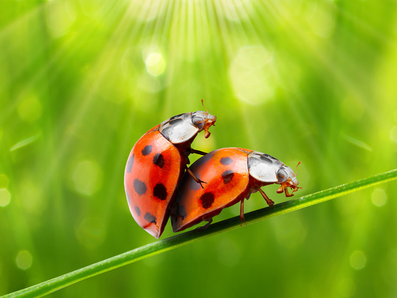Фотография Божьи коровки насекомое две животное Насекомые 2 два Двое вдвоем Животные