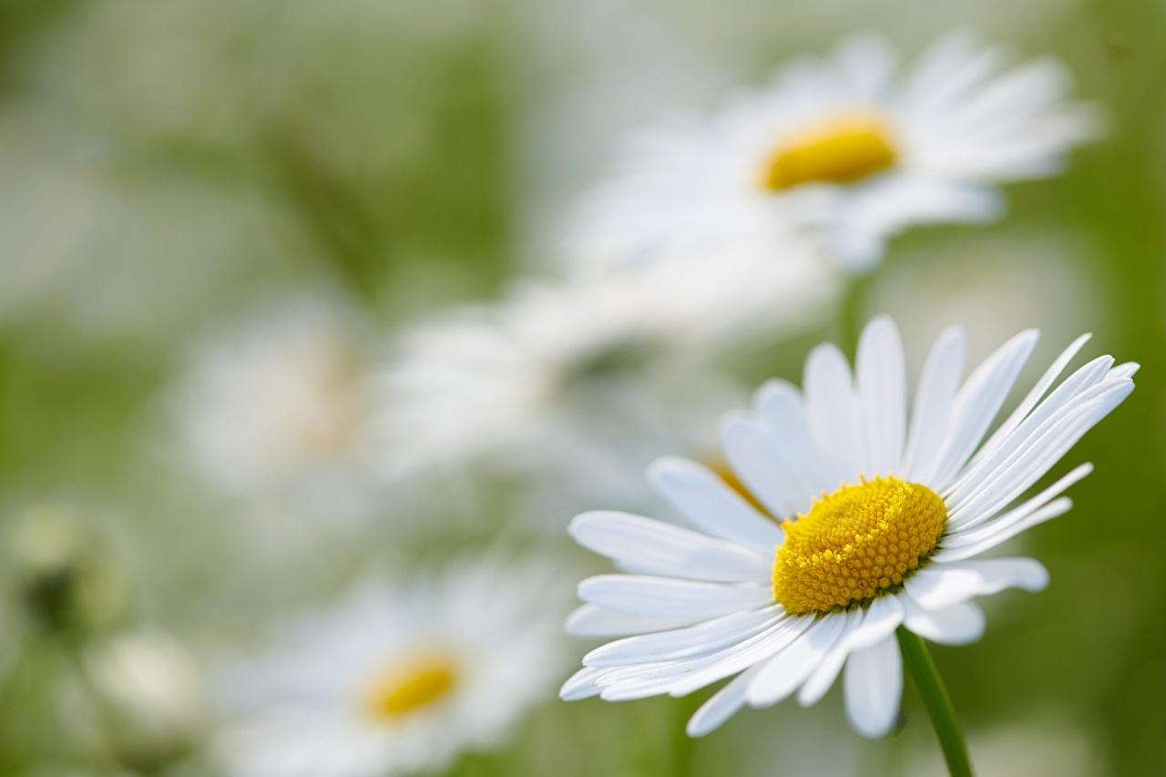Фото боке белая цветок Ромашки Крупным планом Размытый фон Белый белые белых Цветы ромашка вблизи