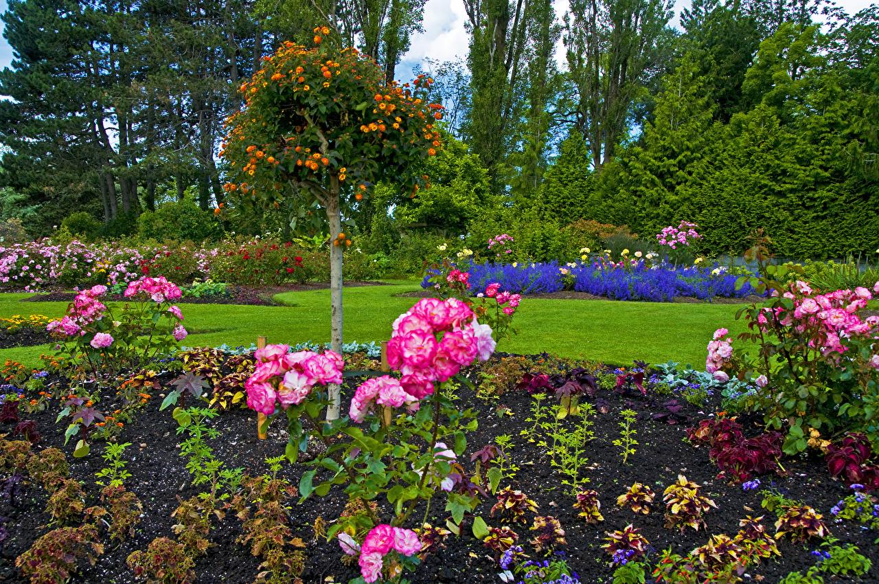 Картинка Ванкувер Канада Queen Elizabeth Garden Розы Природа Сады Кусты дерева кустов дерево Деревья деревьев
