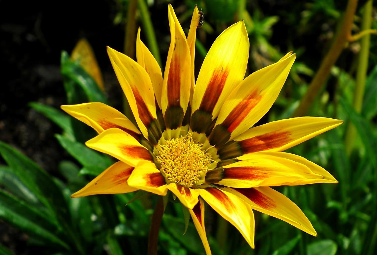 Фото желтых цветок Газания Крупным планом Желтый желтые желтая Цветы вблизи
