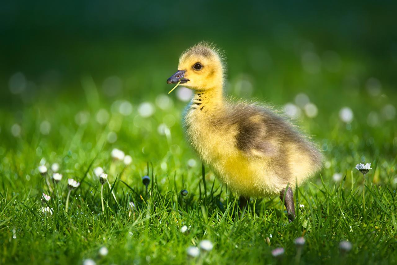 Фотографии Гуси птица птенец Размытый фон траве животное гусь Птицы Птенцы боке Трава Животные